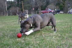 Xl And Xxl Blue Nose Pitbull Puppies
