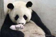 baby pictures of pandas | pink bubblegum princess: 5 gambar cute baby Pandas