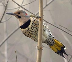 Northern Flicker...they are SO cool! The undersides of their wings are the same vivid yellow that's under their tail.