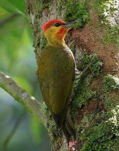 Pica-Pau-Bufador ou Pica-Pau-de-Cabeça-Amarela ( Piculus flavigula ) ( Macho ) - Brasil, Guianas, Bolívia, Colômbia , Equador, Peru , Suriname e Venezuela.
