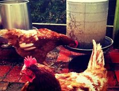 An interesting read. Not sure if I want to raise chickens but definitely might be worth it to some.