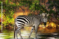 zebra sunset - Google Search