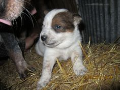 Look at this baby smile!  Red australian cattle dog puppy from Cattle dogs rule.