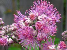 Thalictrum aquilegifolium (Meadow Rue) by Sally E J Hunter, via Flickr