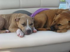 Roxie & Sadie living the good life - Official PitBull Crew mascots ;-) www.pitbullcrew.com