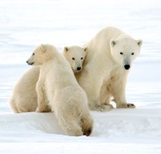 Polar bears in Churchill, Manitoba.