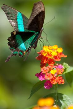 Butterfly of the Philippines