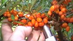 sea-buckthorn - YouTube Sea, Vegetables, Health, Youtube, Food, Health Care, Vegetable Recipes, Eten, Ocean