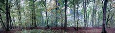 Fototapete Waldstück Buche (Nr. 10079)  www.berlintapete.de