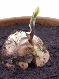 How to grow an avocado tree- sounds difficult but would be the most eaten item of the garden!