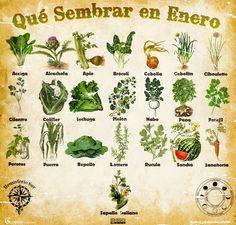 Les traemos este útil calendario de las Siembras del mes de Enero, además de fichas con información específica de cada planta que podrem...