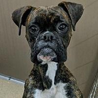 Hurst Tx Boxer Meet Smores A Pet For Adoption In 2020 Pet Adoption Pets Pet Adoption Certificate