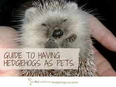 Convinced to get a hedgehog as a pet? We show you the little guys in action & provide some tips about owning one as a pet