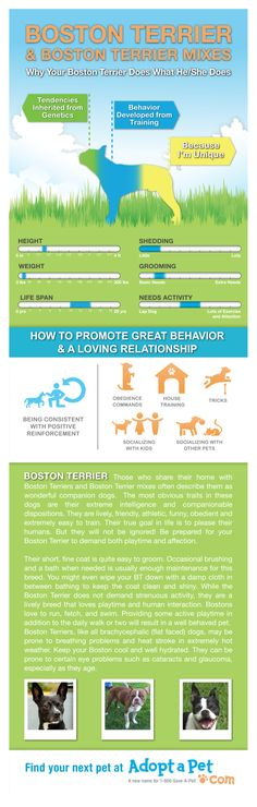 Boston Terrier traits, and how to keep the entire family happy!