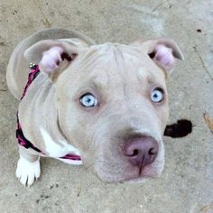 I shall be adopting one. Hell yeah, pit bulls.
