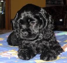 A list of the cutest black cocker spaniel pictures. Are you in the mood to see some adorable photos of black cocker spaniels? This is a list of some of the cutest black cocker spaniel photos. Black Cocker Spaniel Puppies, Perro Cocker Spaniel, American Cocker Spaniel, Cocker Spaniel Dog, Cute Dogs And Puppies, Pet Dogs, Dog Cat, Doggies, Pets