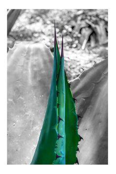Maguey (agave Cupreata) En Apetlanca, Gro. --> Zacatuche. // A dos tonos.