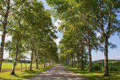 An avenue of white birches by Hiroteru Hirayama on 500px