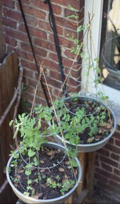 Peas Please! Repurposed Tomato Cage Teepees