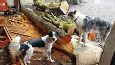 Pepper and pann helping with the sawmill...