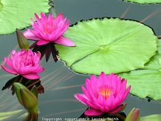 intense pink Water Flowers, Water Lilies, Red Lily, Lotus Leaves, Water Beads, Lily Pond, Sunset Pictures, Water Features, Pink And Green
