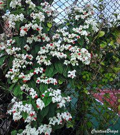 Lágrima de Cristo - Clerodendrum thonsonae Eco Garden, Tropical Garden, Home And Garden, Plantar, Outdoor Plants, Geraniums, Creepers, Amazing Flowers, House Plants