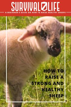 Raising livestock is a rewarding experience in more ways than one! Check out this beginner's guide to raising strong and healthy sheep. #SurvivalLife #Survival #Tips #Homesteads