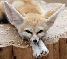Native to North Africa and the Middle East, the Fennec fox isn't currently considered an endangered species, but its habitat is under threat from human. Fennec fox have large ears that help it hunt at night and keep cool by radiating the desert heat. Worlds Cutest Animals, Bizarre Animals, Unusual Animals, Rare Animals, Animals Of The World, Small Animals Pets, Pets 3, Cute Endangered Animals, Endangered Species