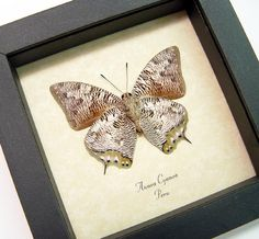 Anaea cyanea The silver snakeskin Butterfly from Peru Beautiful Archival Conservation Display