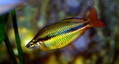 Melanotaenia trifasciata, Regal, Banded, Goyder River, Jewel Rainbowfish Melanotaenia trifasciata