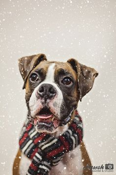 A beautiful boxer smiling in the snow! Christmas dog photography!