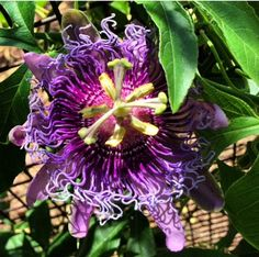 This passion flower (passiflora sp.) was hiding in the shade of the Center for Desert Living Trail.