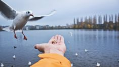 #birds #blur #city #city park #close up view #dawn #daylight #eating #feed #feeding #flying #food #gull #hand #lake #landscape #nature #ocean #outdoors #park #pool #reflection #river #scenic #sea #seag