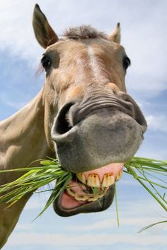 Horse eating grass !! funny face <3 #aww #cute #animals #cats #dogs