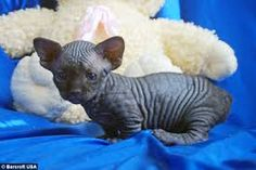 It has to be said there's anything really extraordinary about bald cats and also this is simply as correct of the Bambino cat, a small and incredibly cute bald type that boasts a quite longevity course when well-cared for. You would possibly need to have a deeper look at the Bambino if you're currently buying a more unconventional cat to talk about your property with.