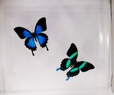 """This display case is 14"""" by 2"""" deep and is really popular. I incorporated my two biggest sellers so you get double the beauty. They are both papilios from Indonesia!"""