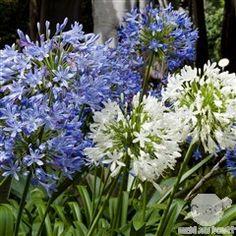 Agapanthes, Automne, Acheter des arbustes : plantes pour le jardin - Jardinerie TRUFFAUT