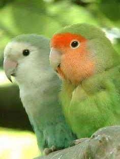 Love Birds <3 Funny Animal Pictures, Funny Animals, Cute Animals, Animal Wallpaper, Mobile Wallpaper, Tahiti, Love Birds, Beautiful Birds, Bird Types