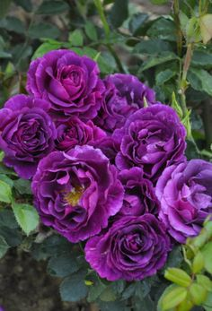 'Mysterieuse' | Shrub Rose. Production in 2013 France-de-Luz