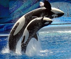 Orcas killer whale and baby