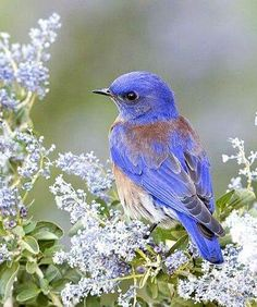 Western Bluebird.