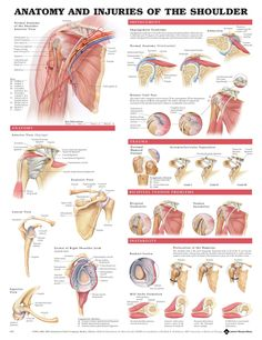 Anatomy of the shoulder (with ability to zoom)
