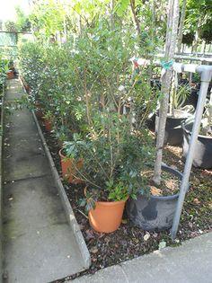 Osmanthus heterophyllus / Ilexblättrige Duftblüte - Dunkelgrün-glänzende Blätter mit einem wunderschönen Duft. Tolles Solitärelement.