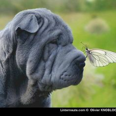 beautiful photo of blue sharpei with butterfly by Bahir Ardan  #sharpei #dog #dogwithwrinkles #wrinklydog #puppy