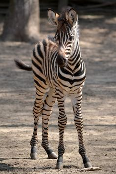 Cute zebra - what would you get by crossing an appaloosa with a zebra....spots AND stripes?  Fun thought.