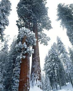Sequoia trees, Sequoia National Park, California, USA