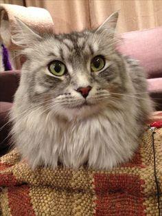 My sweet Siberian cat, Katarina.