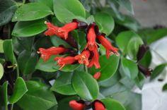 aeschynanthus mona lisa - Cerca con Google