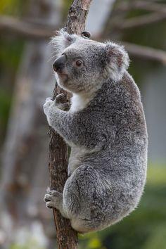 Queensland Koala (par San Diego Zoo mondial)