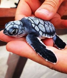 Best photos, images, and pictures gallery about baby sea turtle - sea turtle facts. Baby Animals Pictures, Cute Animal Pictures, Animals And Pets, Cute Creatures, Beautiful Creatures, Animals Beautiful, Beautiful Images, Baby Sea Turtles, Cute Turtles